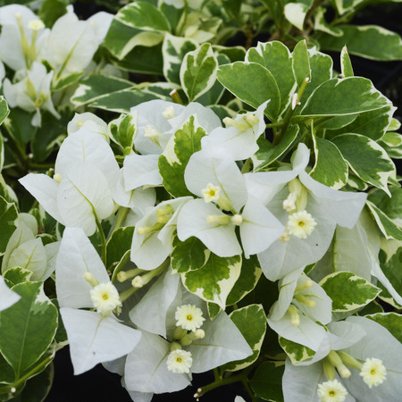 Buy Vanilla Ice bougainvillea now
