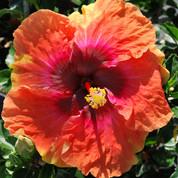 Big Easy hibiscus