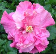 Chiffon Pink hibiscus