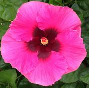 Creole Darlin' hibiscus