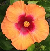 Light My Fire hibiscus