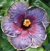 Black Rainbow hibiscus