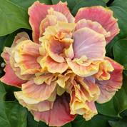 Queen of Dream hibiscus