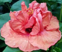 Persimmon hibiscus