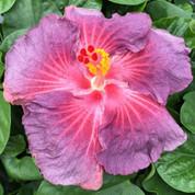 Violetta hibiscus