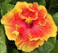 Tahitian Sunset Splendor hibiscus