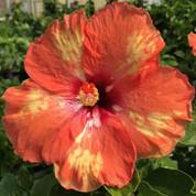 Cajun Starburst hibiscus