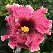 Camera Candid hibiscus