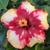 Corazon hibiscus