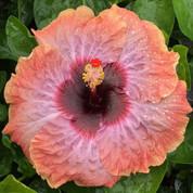 Moonstruck hibiscus