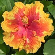 The Path hibiscus