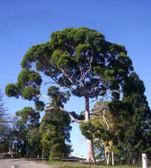 Eucalyptus, Lemon