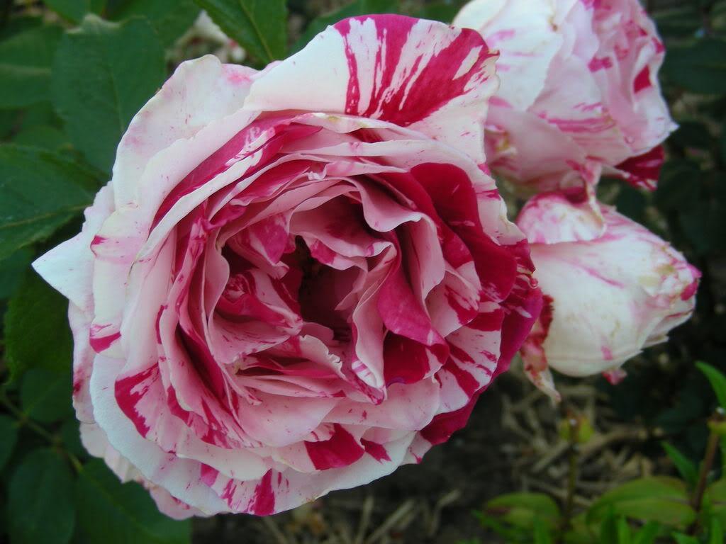 The Birthflower for June Albuquerque Florist
