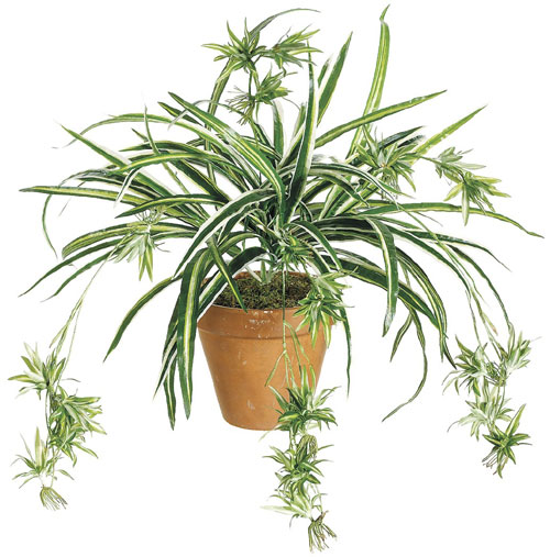 "Growing A Spider Plant: Five ""Brown Thumb"" Approved House Plants"