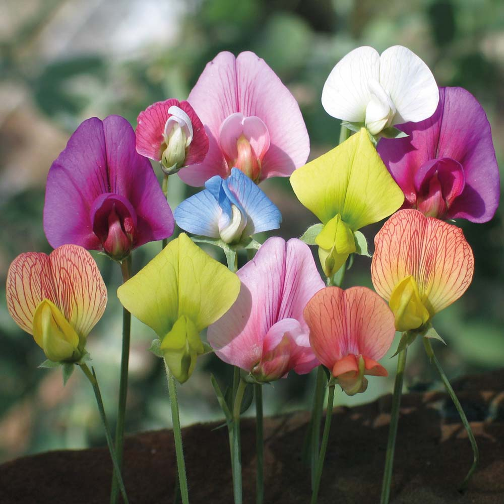 The Birthflower for April - Albuquerque Florist