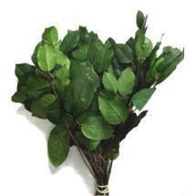 Salal Lemon Leaf