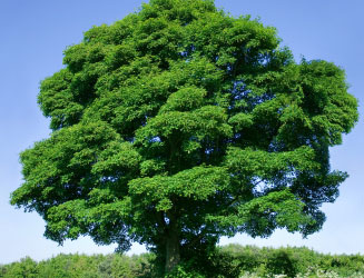 sycamore-tree-1a.jpg