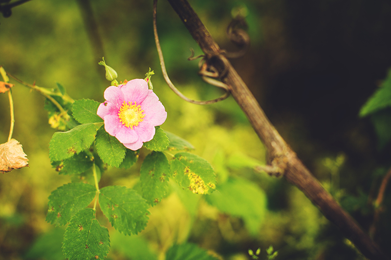 Wild Rose, Rosa californica.