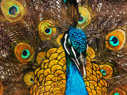 Peacock - 36in X 24in,31Animal23_3624,Yellow, Brown,Rs.3490,Latest Collection;Our Recommended;Bestsellers;Equestrian Art and Wildlife;By Orientation and Size/Horizontal/Large (33in to 40in);Full Collection