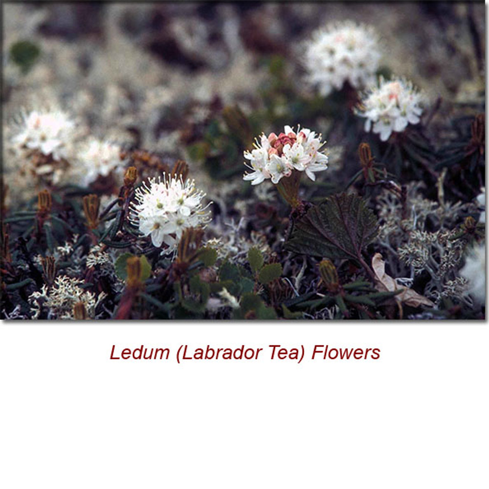 Ledum (Labrador Tea) Organic Essential Oil
