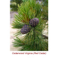 Cedarwood Virginia (Red Cedar) Essential Oil