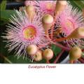 Eucalyptus Radiata (Narrow Leaf) Essential Oil