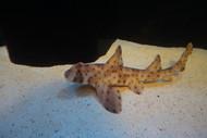 Horn Shark - Heterodontus francisci