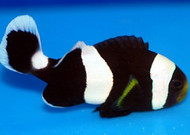 Saddle Clown -Black - Amphiprion polymnus (Medium, Set of 2)