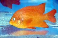 Garibaldi - Adult - Hypsypops rubicundus