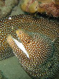 Whitemouth Eel - Hawaii