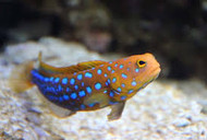 Blue Spot Jawfish - Mexico (Box of 2)