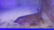 Blind Shark - Brachaelurus Waddi