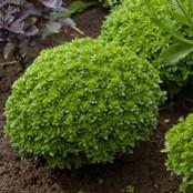 Botanical - Ocimum basilicum