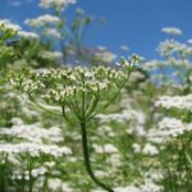 Botanical - Cuminum cyminum