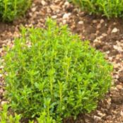 Botanical - Satureja hortensis