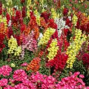 Botanical - Scrophulariaceae