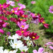 Botanical - Cosmos sulphureus