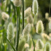 Botanical - Lagurus