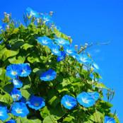 Botanical - Ipomoea tricolour