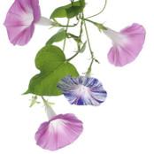 Botanical - Ipomoea purpurea