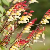 Botanical - Ipomoea lobata