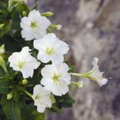 Botanical - Nyctaginaceae