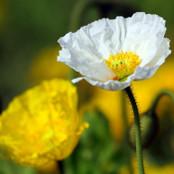 Botanical - Papaver rhoeas