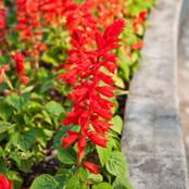 Botanical - Labiatae
