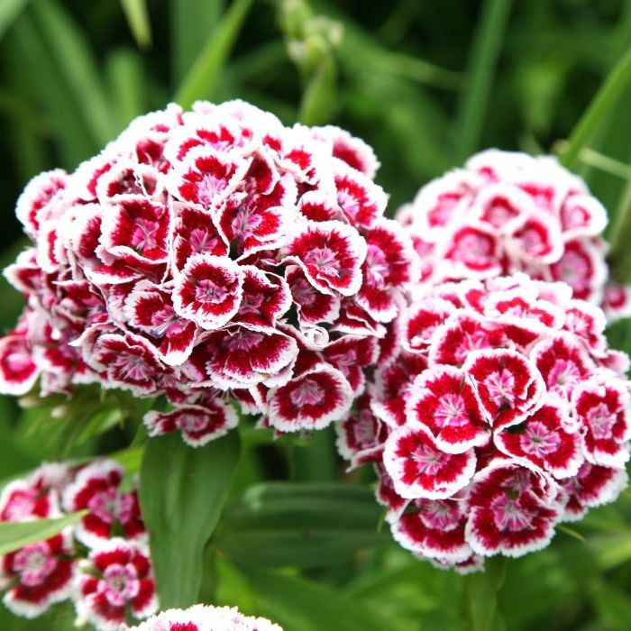 Sweet William Seeds Indian Carpet Mixed Groseeds