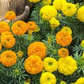 Botanical - Tagetes erecta