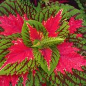 Botanical - Solenostemon