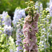 Botanical - Ranunculaceae