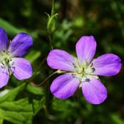 Botanical - Geraniaceae