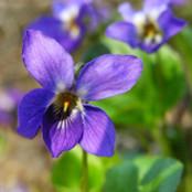 Botanical - Viola odorata